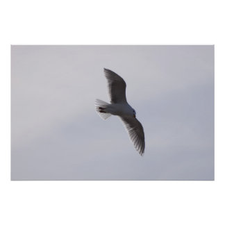 Seagull flying overhead posters