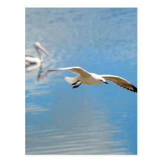 Seagull In Flight - Pelican on Water Postcard