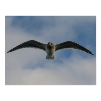 Seagull in flight post cards