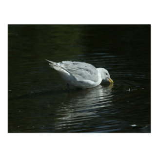 Seagull in the water. postcard