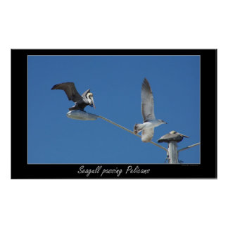 Seagull passing Pelicans Poster
