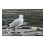 Seagull & Shells in the Sea Poster