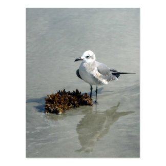 Seagull with Seaweed Postcards