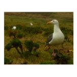 Seagulls on Anacapa Island (Channel Islands) Postcard