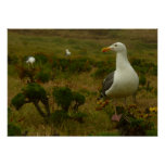 Seagulls on Anacapa Island (Channel Islands) Poster