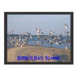 Seagulls Postcard, Rehoboth Beach, Delaware
