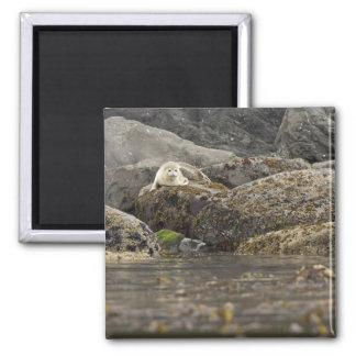 Seal at Peninsula Island Magnets