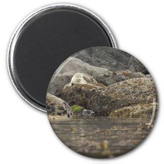 Seal at Peninsula Island Refrigerator Magnets
