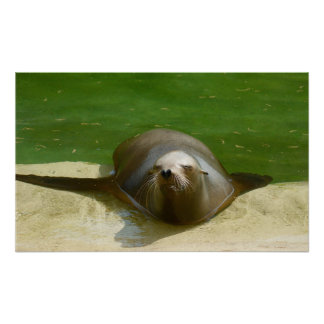 Seal Lion Relaxing Posters