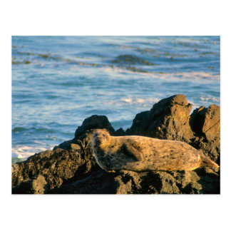 Seal on the rocks postcard