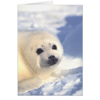 Seal Pup Face Card Card