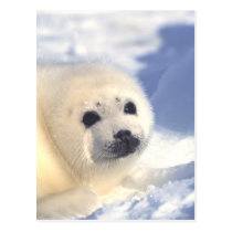 Seal Pup Face Postcard