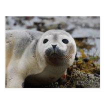 Seal Pup Postcard