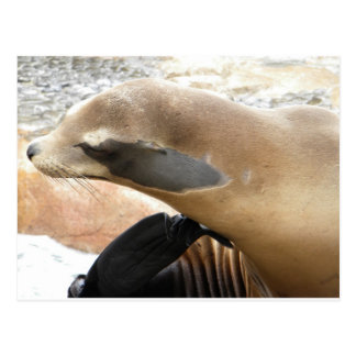 Seal Scratcher Post Cards