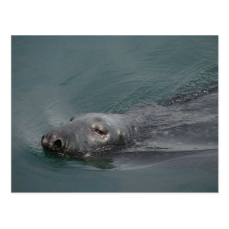 Seal Stornoway Harbour Outer Hebrides Post Card