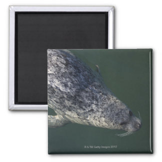 Seal swimming under the water 2 2 inch square magnet