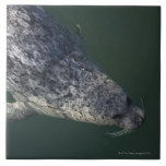 Seal swimming under the water 2 large square tile