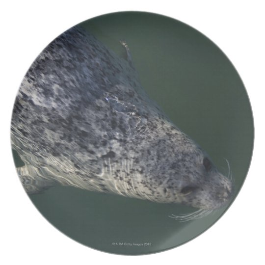 Seal swimming under the water 2 plate
