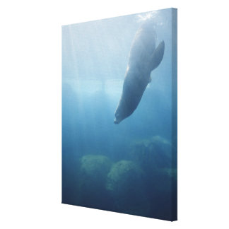 Seal swimming under the water canvas print