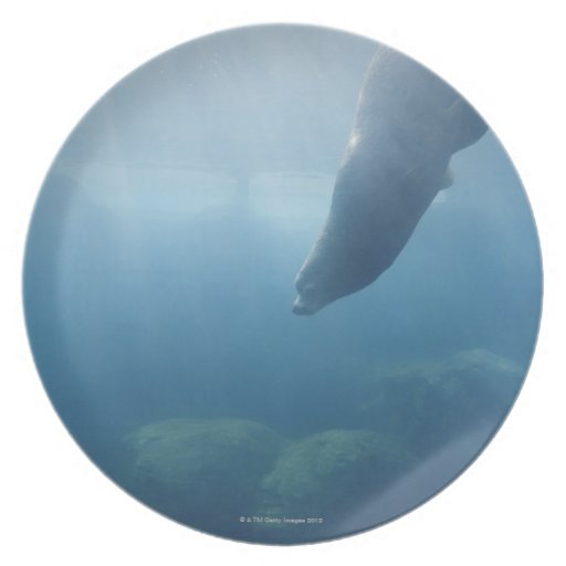 Seal swimming under the water plate