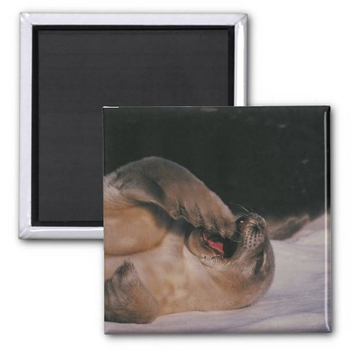 Seal Yawn 2 Inch Square Magnet