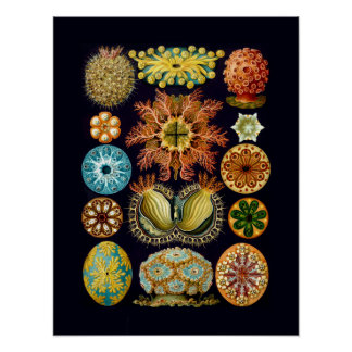 Sealife acuático Ernst Haeckel Ascidiae Póster