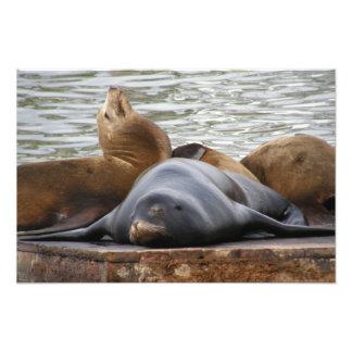 Sealions Sleeping Photograph