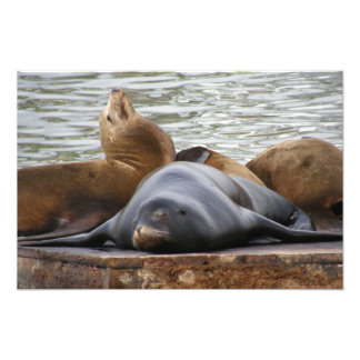 Sealions Sleeping Art Photo