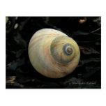 Seashell del caracol de mar de la luna, isla de Un Tarjeta Postal