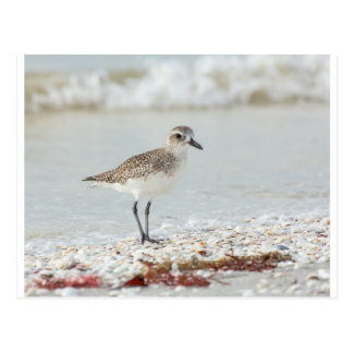 Seaside Plover Postcard
