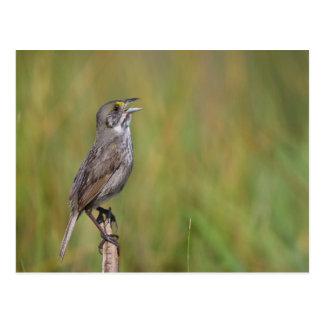 Seaside Sparrow Postcard