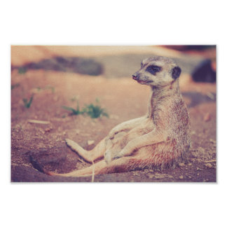 Seated Meerkat Chilling Poster