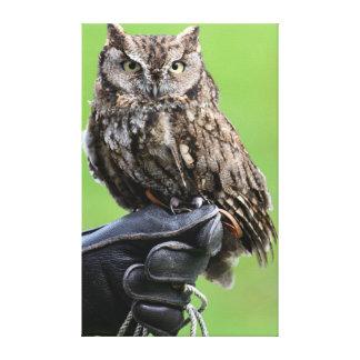 Seattle, Washington. Young Western Screech-Owl Canvas Print