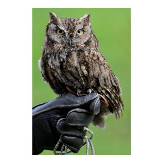 Seattle, Washington. Young Western Screech-Owl Poster