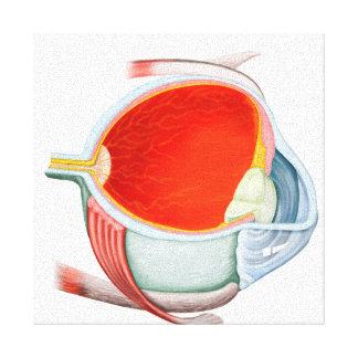 Sección representativa del ojo humano impresión en lienzo