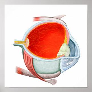 Sección representativa del ojo humano póster