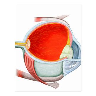Sección representativa del ojo humano tarjeta postal