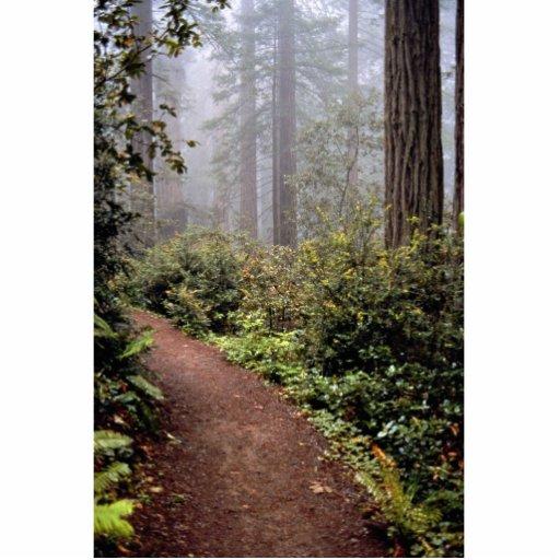 Secoyas costeras, señora Bird Johnson Grove, Calif Fotoescultura Vertical
