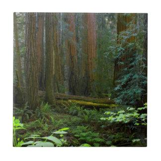 Secoyas en parque nacional de maderas de Muir Azulejo Cuadrado Pequeño