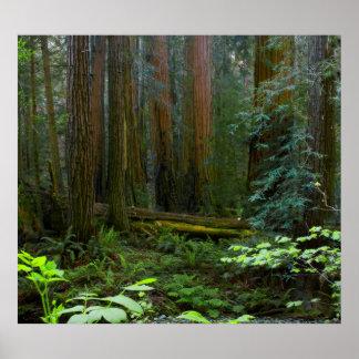 Secoyas en parque nacional de maderas de Muir Impresiones