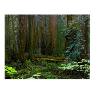 Secoyas en parque nacional de maderas de Muir Tarjetas Postales