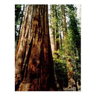 Secoyas en Yosemite Postal