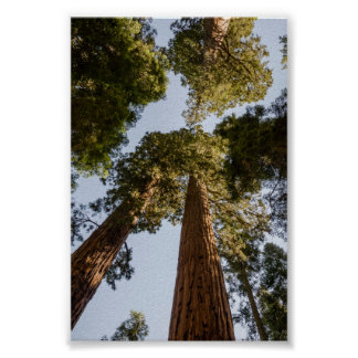 Secoyas gigantes en parque nacional de secoya póster