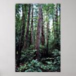 Secoyas - monumento nacional de maderas de Muir Poster