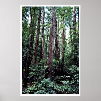 Secoyas - monumento nacional de maderas de Muir Impresiones