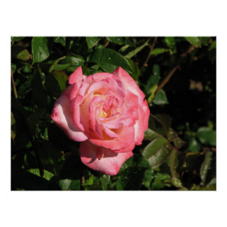 Secret Hybrid Tea Rose 116 Print