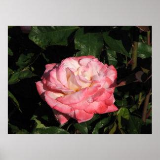 Secret Hybrid Tea Rose 117 Poster