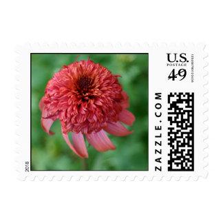 Secret Lust Echinacea orange daisy flower blossom Postage