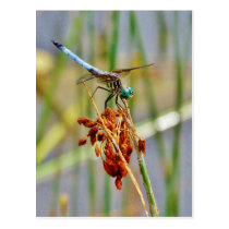 Sedge grass, and Dragonfly Postcard