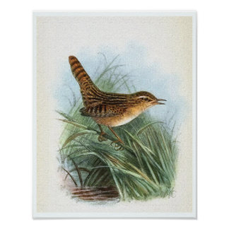 Sedge Wren Vintage Bird Illustration Poster